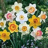 Large Cupped Daffodil Bulbs Sunshine Mix