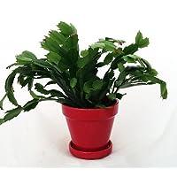 Hirt's Red Christmas Cactus Plant - Zygocactus - 4