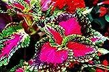 色付きの草種子、多年生の花の種鉢植え盆栽植物コリウスBlumeiホットフラワー種子のコリウスの種子の50seeds /パック