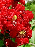 35 DYNAMITE RED CREPE MYRTLE Lagerstroemia Flowering Shrub Bush Small Tree Seeds
