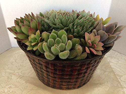 Succulent Oasis Live Succulent Plant Arrangement in Beautiful 7