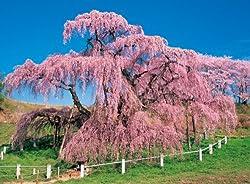 500ピース 満開の三春滝桜 75-256