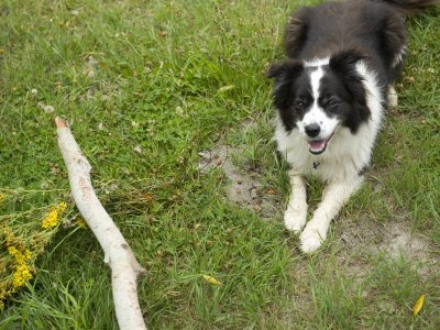 Classic Sheep Herding Dog, the Border Collie, with a Stick