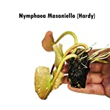 Live Aquatic Plant Nymphaea Masaniello Pink Hardy Water Lilies Tuber for Aquarium Freshwater Fish Pond by Greenpro