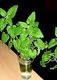 家庭用 ハーブの水耕栽培キット 窓際族(窓辺でキャットニップ 支柱付)