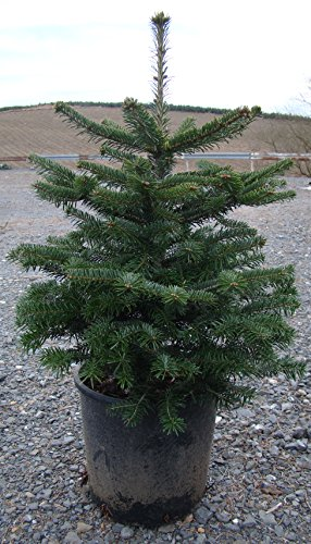 nordmanntanne im topf gewachsen weihnachtsbaum mit anwachsgarantie 60 80cm. Black Bedroom Furniture Sets. Home Design Ideas