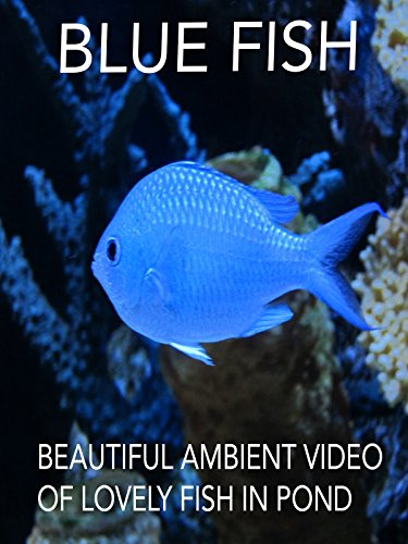 Blue Fish Beautiful Ambient Video of Lovely Fish in Pond