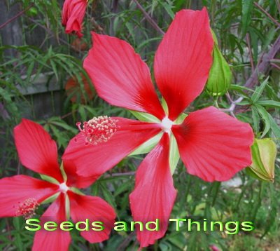 Star of Texas Hibiscus 30 Seeds - Hibiscus - Perennial