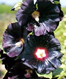 Arabian Nights Hollyhock 15 Seeds