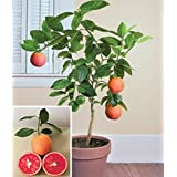 Miniature Moro blood orange tree 5 seeds, very rare