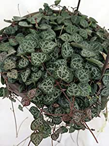 """Rosary Vine - 6"""" Hanging Basket - Ceropegia woodii - Mother's Day Plant"""