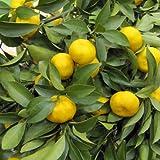 福来(ふくれ)みかん4~5号ポット[12月収穫 耐寒性強く縁起のよい名前の柑橘苗木]