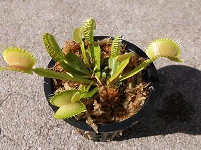 Adult Sized Venus Flytrap - Fly Trap - (Dionaea Muscipula) Carnivorous Plant 3 inch pot from JoelsCarnivorousPlants
