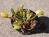 Adult Sized Venus Flytrap - Fly Trap - (Dionaea Muscipula) Carnivorous Plant 3 inch pot