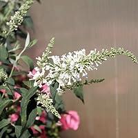 InSpired TM White Butterfly Bush - Buddleia - Proven Winners - 1 Quart Pot
