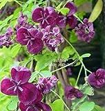 Akebia trifoliata 12 Seeds Three Leaf Akebia fragrant chocolate colored blooms Japanese heirloom cold hardy purple fruit Trellis Groundcover