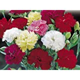 CARNATION - Giant Double Chabaud Mix - Pack Of 50 Seeds- By Seedscare India