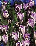 Crocus Spring Beauty Bulbs (12 in Pack)
