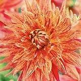 Dahlia Maniac x 1 tuber. Dinner Plate Dahlia with Giant flower Heads