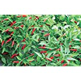 PEPPER, THAI HOT, HEIRLOOM, ORGANIC 20+ SEEDS, VERY SPICY GREAT FRESH OR DRIED