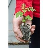 TreesAgain Blue Jacaranda Trees - Jacaranda mimosifolia - starter plug (See State Restrictions)