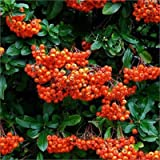 Pack x6 Pyracantha 'Orange Glow' Perennial Garden Shrub Plug Plants