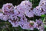 Buddleja alternifolia (Weeping Butterfly bush) 3 ltr pot