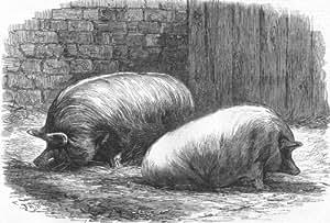 PIGS: Poissy: Prize White Yorks & Sussex pig, antique print, 1862