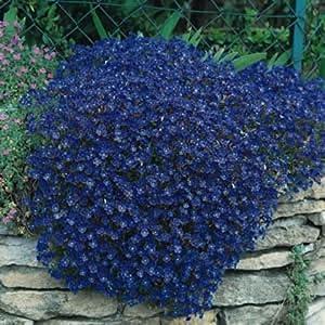 50 Aubrieta Rock Cress Bright Blue Perennial