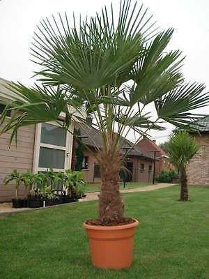trachycarpus-fortunei-chusan-palm-chinese-windmill-palm
