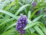 Lily Turf, Liriope m. 'Royal Purple' - Two, 2.5 quart plants