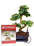 Bonsai Geschenkset