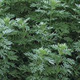 Outsidepride Wormwood - 5000 Seeds