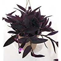 Purple Heart Plant - Setcreasea - Indoors or Out - Easy