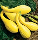 Summer Squash Yellow Crookneck D2450A (Yellow) 25 Organic Seeds by David's Garden Seeds