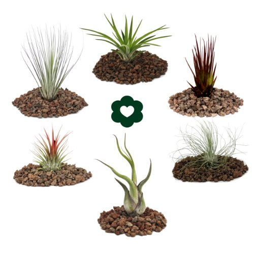 6-different-Tillandsia-Set