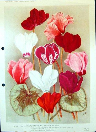 flores-de-la-impresion-de-color-de-persicum-del-pionero-de-buxton-del-ciclamen-del-invernadero