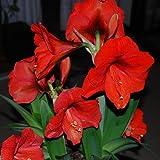 Amaryllis Vittata 'Red Giant' (hippeastrum) Seeds