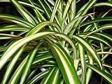 Pack x6 Chlorophytum 'Spider Plant' Summer Bedding & Basket Plug Plants