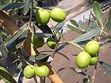オリーブの木 フラントイオ (フロントイオ) 2年生苗 庭木 常緑樹 シンボルツリー オリーブ 苗 苗木 庭木 常緑樹 鉢植え 苗木