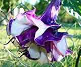 Double Lavender Angels Trumpet 6 Seeds Datura