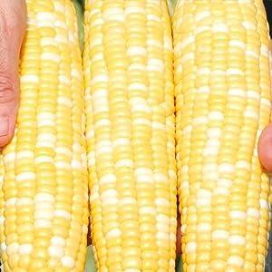 Gotta Have It Hybrid Sweet Corn - Pkt