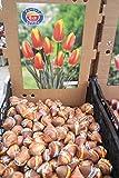 秋植え球根 まとめ買い チューリップ(10個入り) 色いろいろ 【送料込】 (赤&黄)