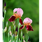 Generic Indoor Potted Seed Iris, Iris Orchid Plant Seed, Beautiful Choice Of Colors, 100 Particles / Bag