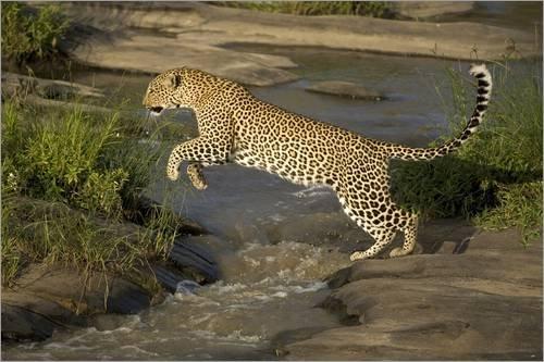 impression-sur-bois-120-x-80-cm-an-african-leopard-leaps-over-a-creek-de-joe-mary-ann-mcdonald-danit