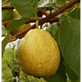 24+ White Florida Pear Guava Tropical Fruit Tree Seeds Psidium Guajava Edible