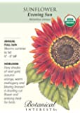Evening Sun Sunflower - 30 Seeds - Organic