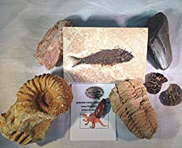 Giant 7-piece Fossil Collection Gift Pack - 7 Large Genuine Fossils - DINOSAURS ROCK exclusive!