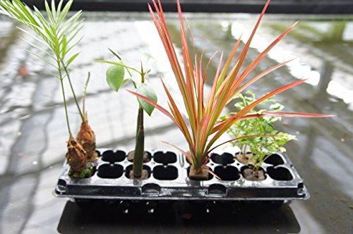 園芸農家から新鮮な苗をお届けします。 ハイドロカルチャー 観葉植物 オアシス苗4種×2 [ソテツ、マングローブ、レインボー、トネリコ]