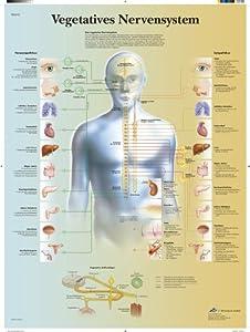 3B Scientific VR0610UU Vegetatives Nervensystem